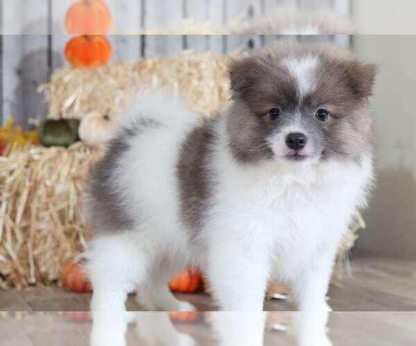 Medium Photo #1 Pomeranian Puppy For Sale in MOUNT VERNON, OH, USA