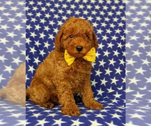 Goldendoodle-Poodle (Toy) Mix Dog for Adoption in NOTTINGHAM, Pennsylvania USA