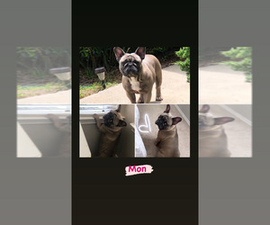 Mother of the French Bulldog puppies born on 10/24/2020