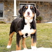 Greater Swiss Mountain Dog Puppy For Sale in GAP, PA, USA