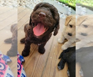 Double Doodle Puppy for Sale in LOUISA, Virginia USA