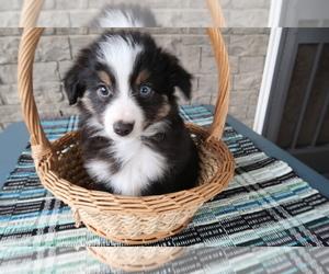 Australian Shepherd Puppy for sale in TERRE HAUTE, IN, USA