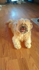 Shih Tzu Dogs for adoption in ENOSBURG FALLS, VT, USA