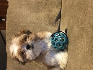 Shih Tzu Puppy For Sale in LEAWOOD, KS, USA