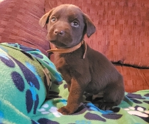 Labrador Retriever Puppy for Sale in JASPER, Georgia USA