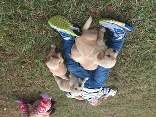 Golden Retriever Puppy For Sale in NASHVILLE, NC, USA