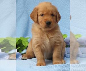 Golden Retriever Puppy for Sale in MECHANICSVILLE, Maryland USA