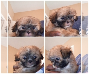 Shih Tzu Puppy for sale in LAURENCE HARBOR, NJ, USA