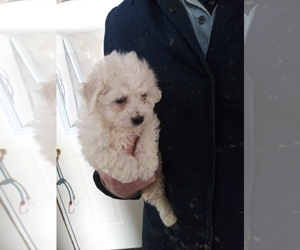 Bichon Frise Puppy for sale in SHIPSHEWANA, IN, USA