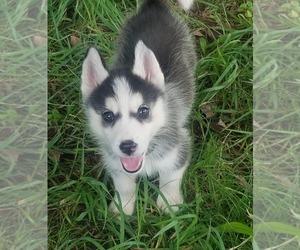 Siberian Husky Puppy for sale in KANSAS CITY, MO, USA