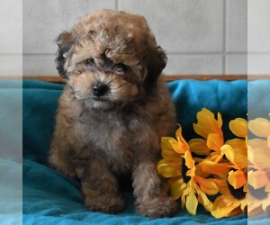 Poodle (Toy) Puppy for sale in PARADISE, PA, USA