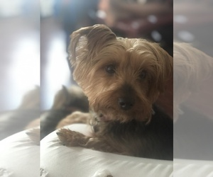 Mother of the Yorkshire Terrier puppies born on 09/18/2020