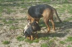 Bloodhound Puppy For Sale in COMMERCE, TX, USA