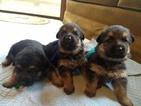 German Shepherd Dog Puppy For Sale in W LINN, OR, USA
