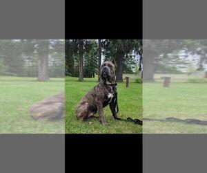 Cane Corso Puppy for sale in TICONDEROGA, NY, USA