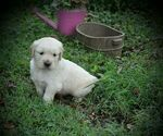 Image preview for Ad Listing. Nickname: Goldens