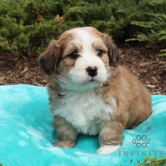 Bernese Mountain Poo Puppy For Sale in GAP, PA