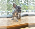 Small Photo #1 French Bulldog Puppy For Sale in BERWYN, IL, USA
