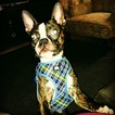 Boston Terrier Dog For Adoption in HOLLYWOOD, FL, USA