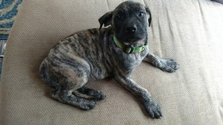 Mastiff Puppy For Sale in TOWNSEND, DE, USA