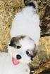 Male Great Bernese Puppy