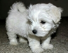 Maltipoo Puppy For Sale in CHESAPEAKE, VA, USA