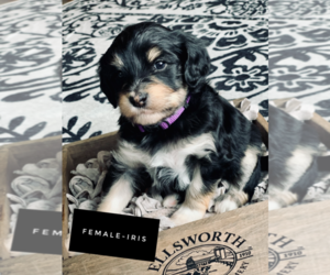 F2 Aussiedoodle Puppy for Sale in WABASHA, Minnesota USA