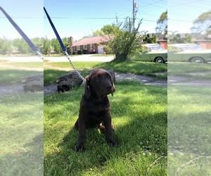 Labrador Retriever Puppy for sale in GARY, IN, USA