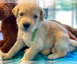 Labradoodle Puppy for sale in CHELSEA, AL, USA