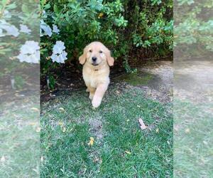 Golden Retriever Puppy for sale in CHATSWORTH, CA, USA