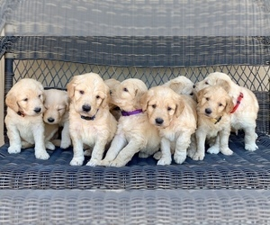 Goldendoodle Puppy for sale in ELIZABETH, CO, USA