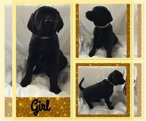 Dalmatian-Labrador Retriever Mix Puppy for Sale in MANCELONA, Michigan USA