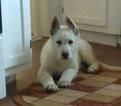German Shepherd Dog Puppy For Sale in BREMEN, KY, USA