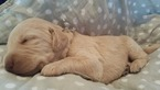 Labradoodle Puppy For Sale in LAKELAND, Florida,