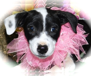 Australian Cattle Dog-Border Collie Mix Puppy for Sale in HAMMOND, Indiana USA