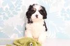 Cavachon Puppy For Sale in NAPLES, Florida,