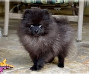 Pomeranian Puppy for sale in WINDERMERE, FL, USA