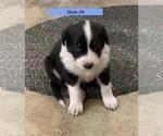 Puppy 4 Border-Aussie