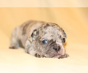French Bulldog Puppy for sale in CHAPPAQUA, NY, USA