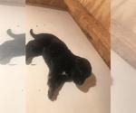 Puppy 10 Malinois