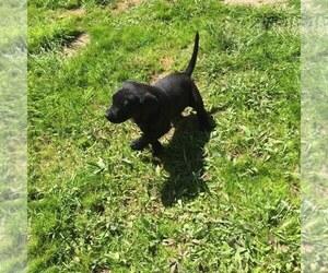 Labrador Retriever Puppy for Sale in MINEOLA, Texas USA