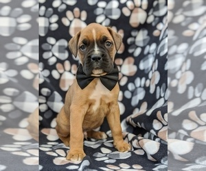 Boxer Puppy for sale in KIRKWOOD, PA, USA