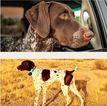 German Shorthaired Pointer Puppies  AZ
