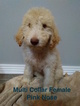 Labradoodle Puppy For Sale in ROSSVILLE, GA, USA