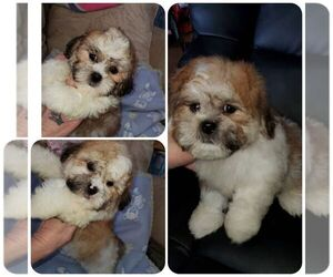 Bichon-A-Ranian-Shih Tzu Mix Dog for Adoption in KENDALL, Wisconsin USA