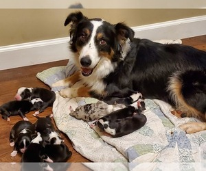 Australian Shepherd Puppy for sale in WAKARUSA, KS, USA