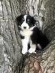 Australian Shepherd Puppies AKC