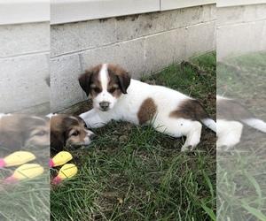 Border-Aussie Puppy for sale in WELLSTON, OH, USA