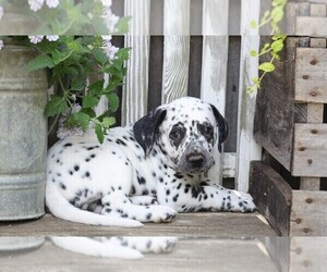 Dalmatian Puppy for sale in FREDERICKSBG, OH, USA