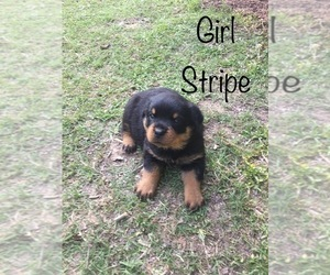 Rottweiler Puppy for Sale in PIEDMONT, Alabama USA
